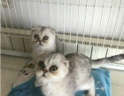 英短折耳猫八字蓝白黑白折耳小奶猫公母均有可上门挑选
