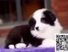 全年 一至今最畅销 边牧幼犬 好品质 有保障