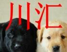 川汇本地拉布拉多犬销售,周口可以送货,视频挑选,签协议