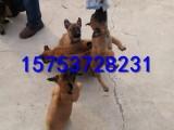 云浮马犬多少钱一只哪里出售马犬幼犬价格多少怎么训练马犬幼犬