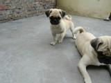 犬舍领养纯种巴哥幼犬 免费领养品质优良 签订活体协议