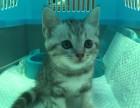出售家养美国短毛猫