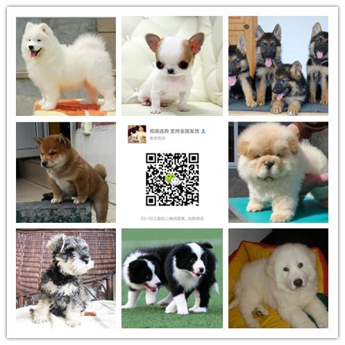 安徽最大狗场一直销各种世界名犬一视频选狗支持发货