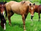 东莞真马匹出租有马匹租赁
