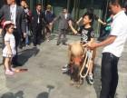 浙江温州小矮马出租-租赁矮马-矮脚马借租-生日庆典展览