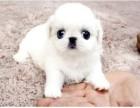 哪里有卖京巴京巴多少钱京巴图片京巴幼犬