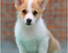 出售纯种健康柯基犬 公母齐全 包犬瘟细小冠状 签协议