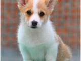 出售高品质柯基犬,公母齐全,售后包建康纯种签协议