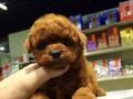 曲靖哪有贵宾犬卖 曲靖贵宾犬价格 曲靖贵宾犬多少钱