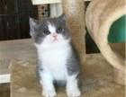 猫舍繁育精品英短蓝白猫幼崽 公母均有