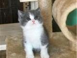 厦门哪里出售纯种英国蓝白短毛猫纯种英国蓝白短毛猫多少钱一只