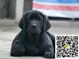 拉布拉多犬 专业繁殖 包品质 本地可实地挑选