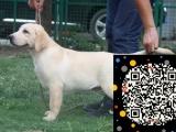 拉布拉多 巡回犬 导盲犬 优惠价出售 完美售后