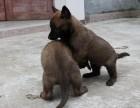 出售高品质马犬 签协议包建康 上门赠送大礼包
