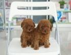 上海狗狗之家长期出售高品质 泰迪 售后无忧