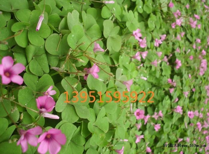红花草绿.jpg