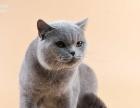 自家繁殖蓝猫出售