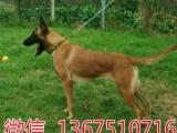 纯种高品质比利时马犬 兴奋度高 易训练。