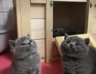 家养英短蓝猫幼崽出售