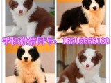 重庆本地出售一柴犬一萨摩耶一比熊一哈士奇一边牧一巴哥一秋田等