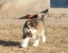 精品阿拉斯加出售 大骨架大毛量品质纯正 购犬送礼包