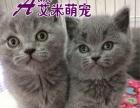 AIMI艾米萌宠售大脸可爱蓝猫宝宝银渐层美短折耳