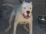 卡斯罗犬幼崽纯种意大利血统卡斯罗大型犬比特犬杜高犬