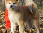昆明哪里有秋田犬出售 秋田哪里的纯种健康 秋田哪里价格便宜