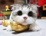 上海广州深圳北京折耳猫大约多少钱 淘宝搜:双飞猫