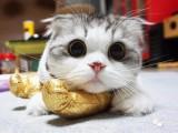 上海广州深圳北京折耳猫连锁店 搜:双飞猫