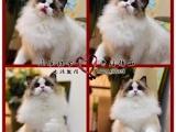 全国连锁--上门/送货--布偶猫/海双蓝双(真正猫舍)