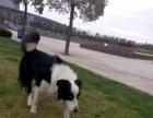 苏格兰边境牧羊犬