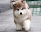 长沙纯种阿拉斯加价格 长沙哪里能买到纯种阿拉斯加犬