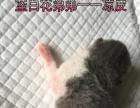 桂林本地家养短毛猫宝宝预定