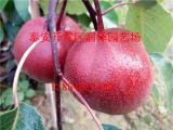 红玛瑙梨树苗批发