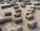 大兴草坪销售草坪 绿化草坪 别墅草坪 公园草坪高档草坪