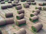 昌平銷售草坪昌平草坪早熟禾高羊茅草坪綠化草坪高檔草坪