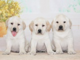成都 纯种拉布拉多幼犬 疫苗齐全出售中 可签协议健康保障