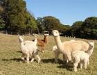 踏青游 感受羊驼的魅力