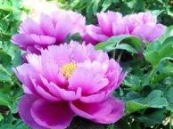 河南绿色假期国际旅行社简介及牡丹花卉服务