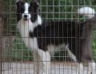 白城什么地方有狗场卖宠物狗/白城哪里有卖边境牧羊犬