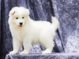 青岛哪里卖纯种萨摩耶犬萨摩耶多少钱一只哪里卖健康的萨摩耶