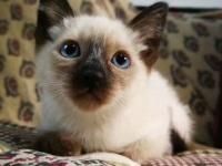 出售泰国皇家猫咪暹羅貓 无病无癣 疫苗齐全