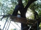 北京诚信专业修树伐树移树