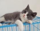 精致正八字脸活泼可爱英短蓝白猫咪 自家繁殖 健康可见
