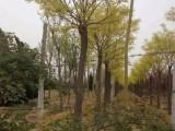 吉林松原30公分合欢树专业供应商