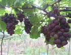 开福区周边葡萄采摘