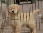 郑州哪里卖金毛幼犬 血统纯的金毛什么价格