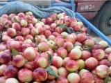 台湾126油桃种植基地 山东油桃供应基地\今日大棚油桃价格