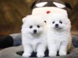 海口出售 博美幼犬 保证纯种健康 签订活体协议